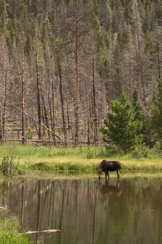 Moose---2017-07-30-15.58.41